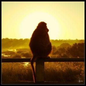 « La réflexion personnelle, le singe observe, apprend et applique. Une vraie leçon de vie... » En savoir plus sur cette image, cliquez ici