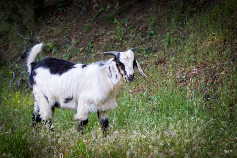 2015 Année de la Chèvre