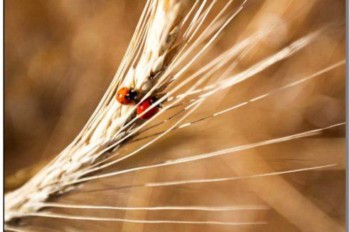 Stimulation Secteur SUD-OUEST : «Coccinelles dans les blés»