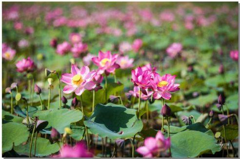 Stimulation Secteur SUD-EST : «Mille et un lotus»